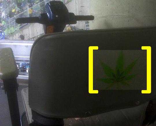 Hawk Weed